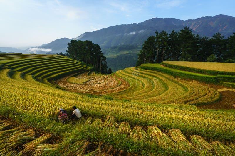 Terrasvormig padieveld in oogstseizoen met landbouwers die op gebied in Mu Cang Chai, Vietnam oogsten stock foto's