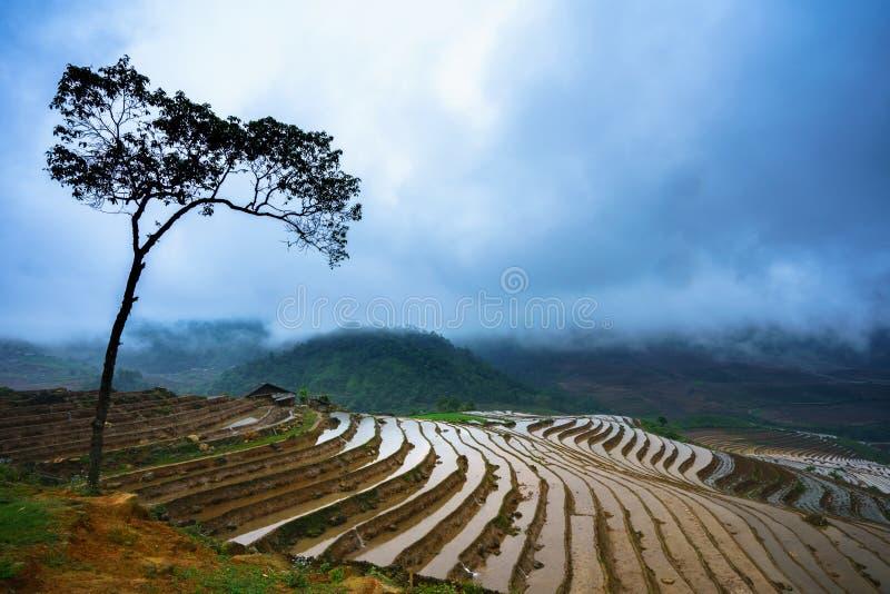 Terrasvormig padieveld in waterseizoen, de tijd alvorens te beginnen rijst, met hoge boom in Y Ty, Lao Cai-provincie, Vietnam kwe stock foto
