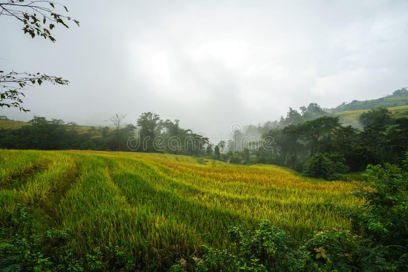 Terrasvormig padieveldlandschap in het oogsten van seizoen met lage wolken in Y Ty, het district van Knuppelxat, Lao Cai, Noord-V royalty-vrije stock foto