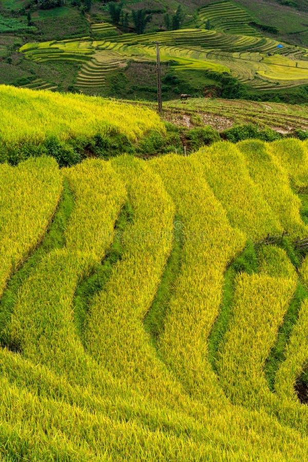 Terrasvormig padieveldlandschap in het oogsten van seizoen in Y Ty, het district van Knuppelxat, Lao Cai, Noord-Vietnam stock afbeeldingen