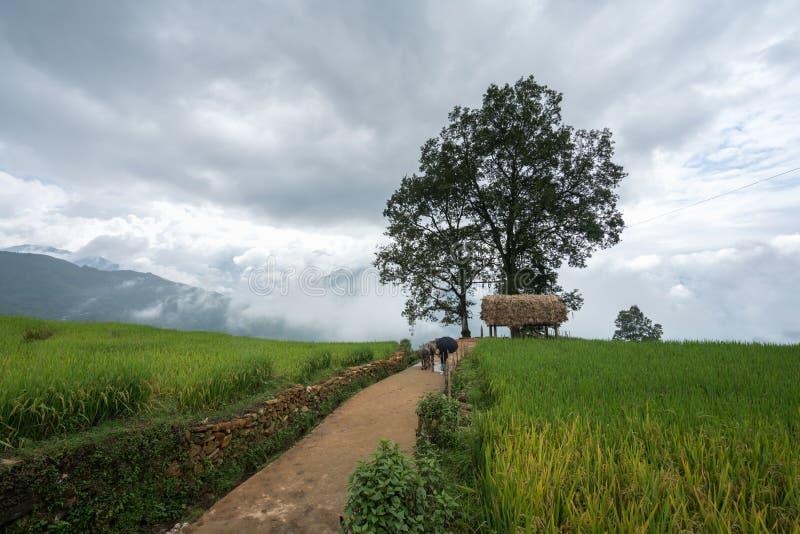 Terrasvormig padieveldlandschap met weg en grote boom van Y Ty, het district van Knuppelxat, Lao Cai, Noord-Vietnam stock foto