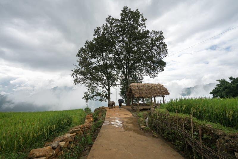 Terrasvormig padieveldlandschap met weg en grote boom van Y Ty, het district van Knuppelxat, Lao Cai, Noord-Vietnam stock afbeelding