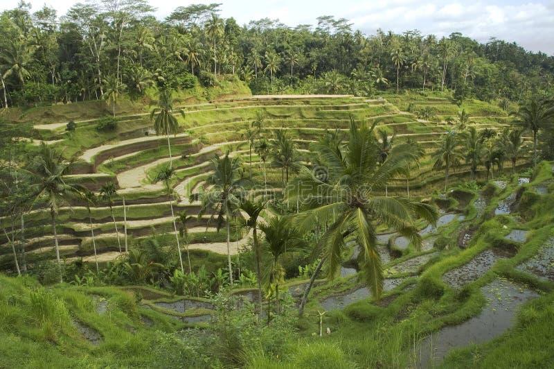 Terraza del arroz imágenes de archivo libres de regalías