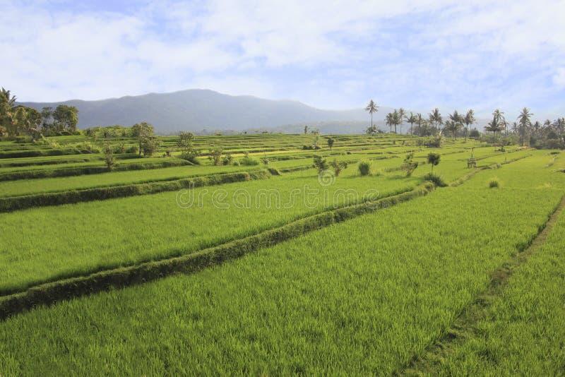 Terraza del arroz con la vista de las montañas en Bali fotografía de archivo libre de regalías