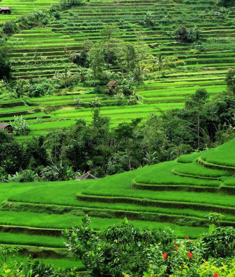 Terrazas del arroz, Bali, Indonesia imagen de archivo libre de regalías