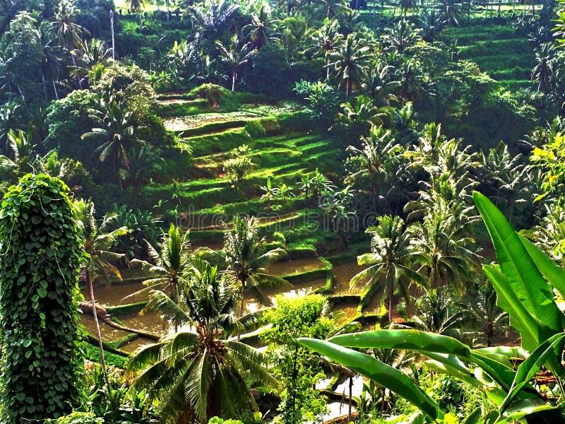 Terrazas del arroz de Tegallalang en Ubud imagenes de archivo