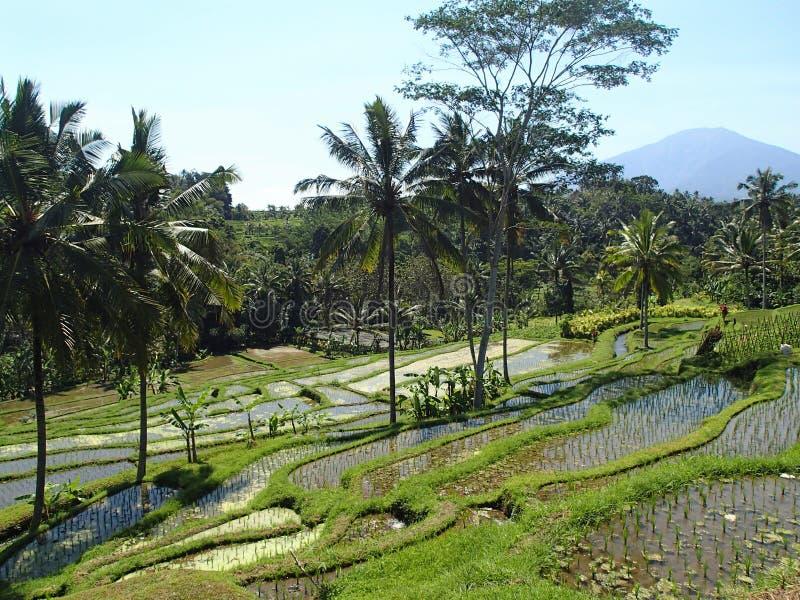 Terrazas del arroz en Bali Indonesia - Asia fotografía de archivo libre de regalías