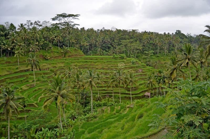 Terrazas del arroz La naturaleza hermosa de Bali imagenes de archivo