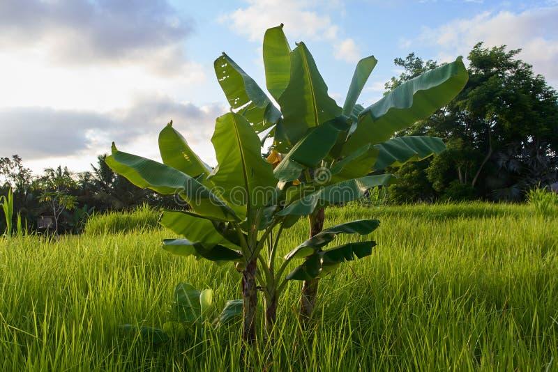 Terrazas del arroz y árbol de plátano hermosos en Ubud, isla de Bali, adentro fotos de archivo