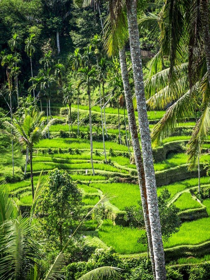 Terrazzi del riso, Bali fotografia stock libera da diritti