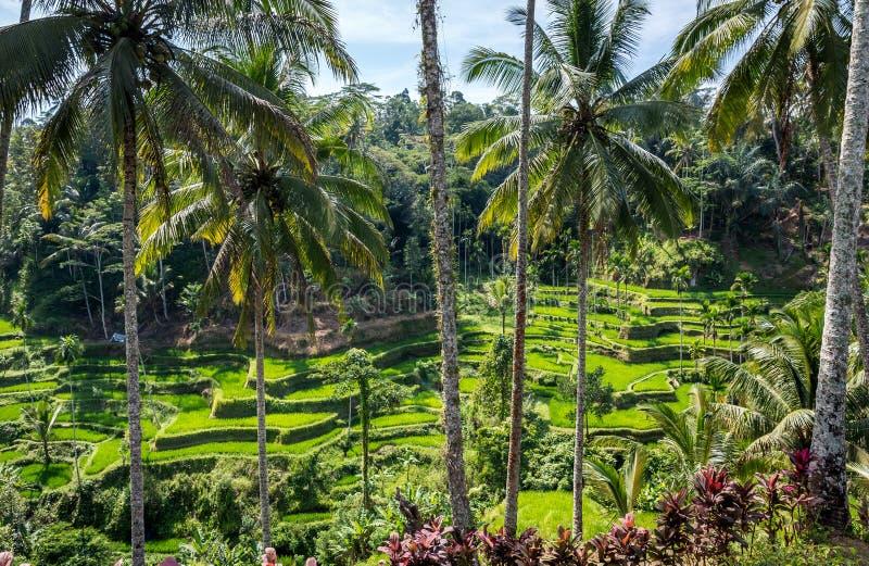 Terrazzi del riso, Bali fotografia stock