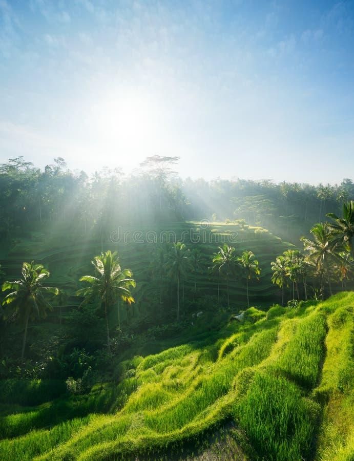 Terrazzi del riso Bali, Indonesia fotografia stock libera da diritti