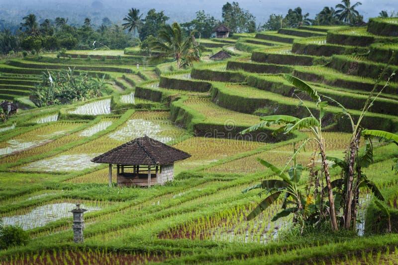 Terrazzi del riso di Bali fotografie stock