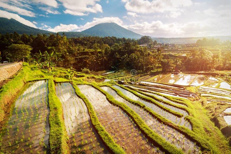Terrazzi del riso di Bali fotografia stock libera da diritti