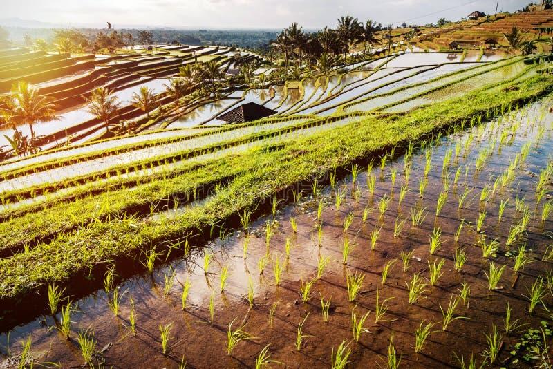 Terrazzi del riso di Bali fotografia stock