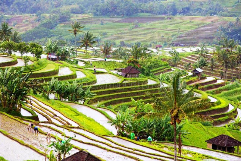 Terrazzi del riso di Bali Risaie di Jatiluwih fotografia stock libera da diritti
