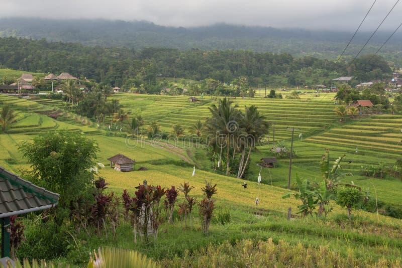 Terrazzi del riso di balinese fotografie stock libere da diritti