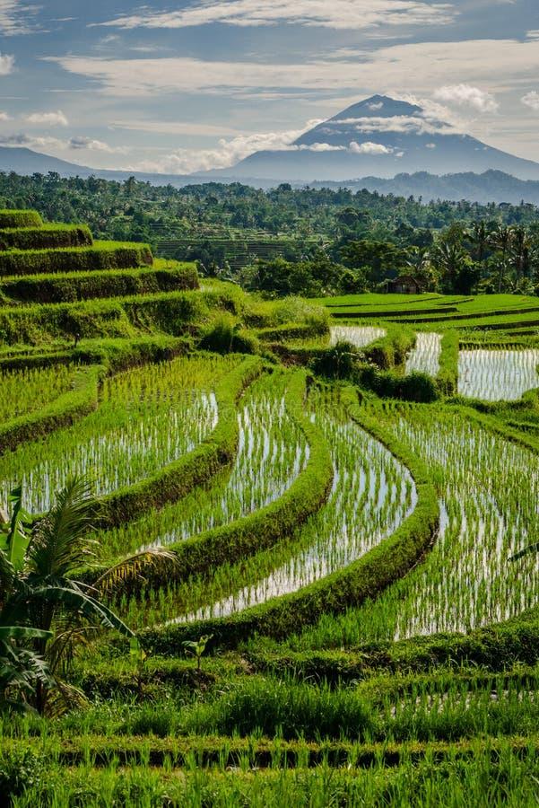 Terrazzi del riso di Jatiluwih fotografie stock libere da diritti