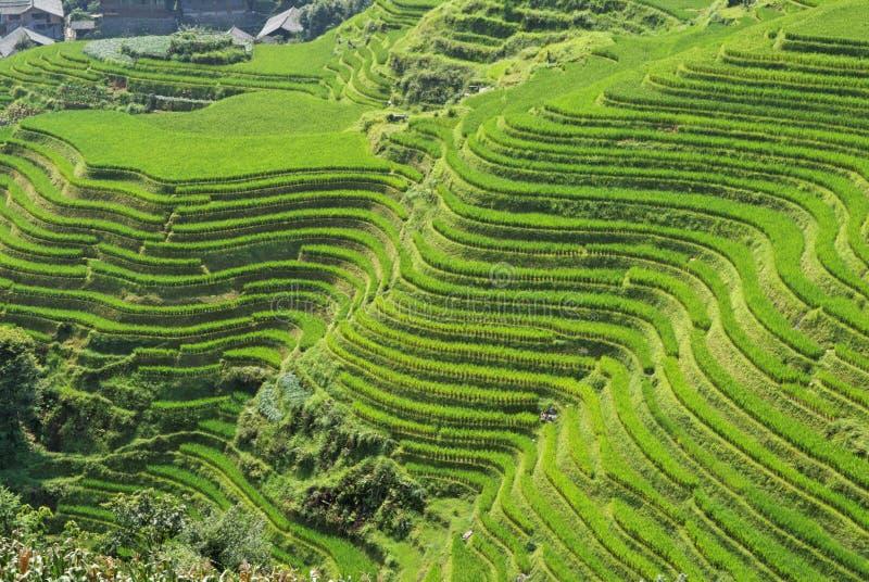 Terrazzi del riso di LongJi (Cina) nella fine dell'estate immagine stock libera da diritti