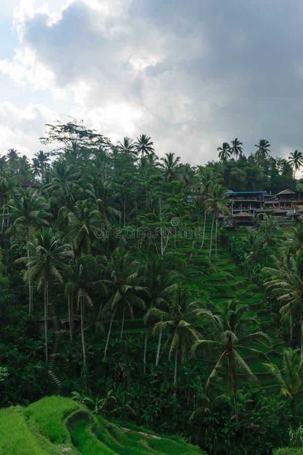 Terrazzi del riso di Tegalalang in Ubud, isola di Bali durante il giorno nuvoloso immagini stock libere da diritti