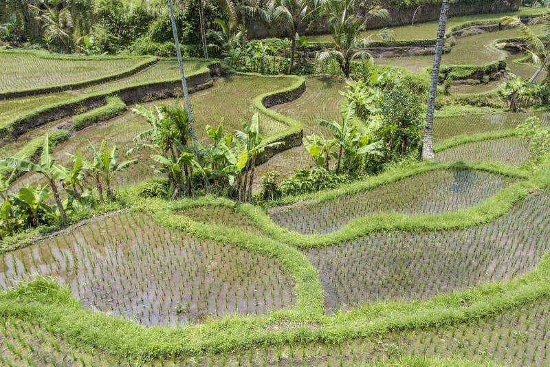 Terrazzi del riso di Tegalalang vicino a Ubud, Bali fotografia stock