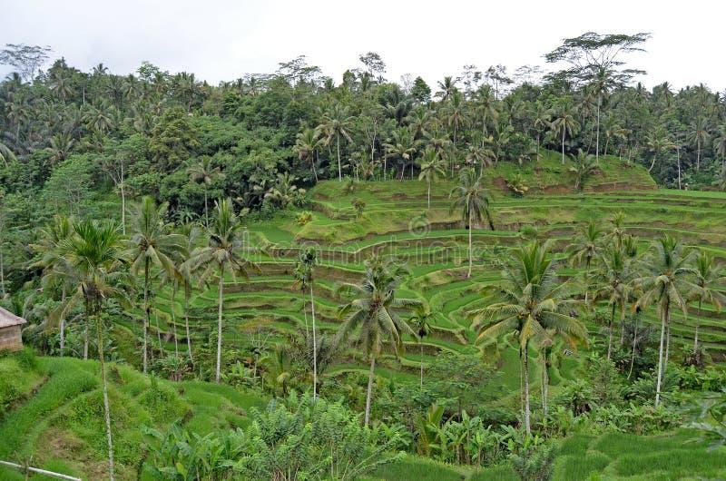 Terrazzi del riso La bella natura di Bali immagine stock