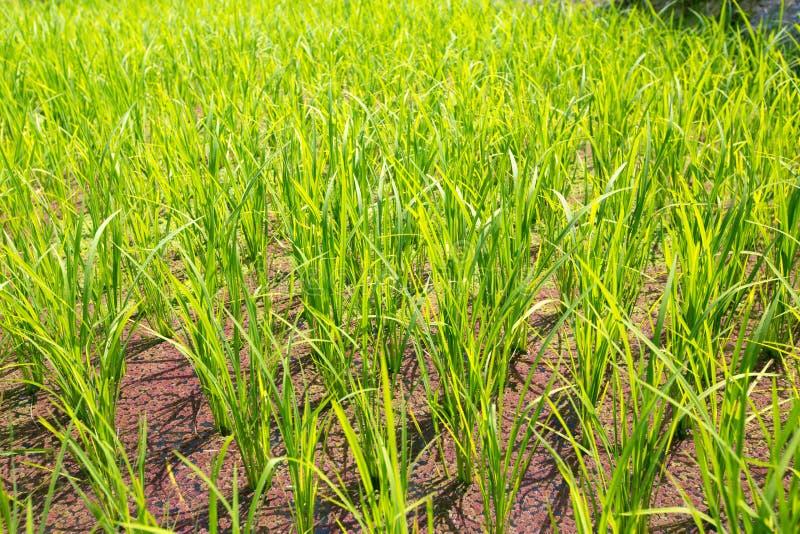Terrazzi del riso nelle Filippine I raccolti del riso Cultivati del riso fotografia stock libera da diritti