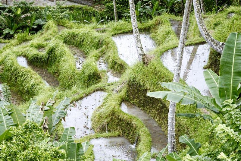 Terrazzi del riso in Tegallalang Il padi dal gambo lungo Bali (riso nazionale di Bali) si sviluppa qui sui terrazzi ripidi, Bali immagine stock