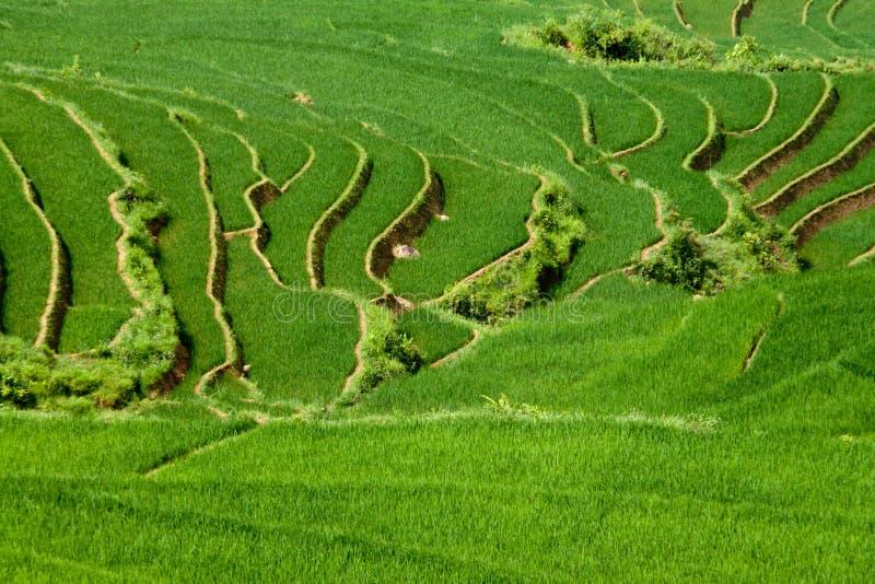 Terrazzi del tortino del riso fotografia stock libera da diritti
