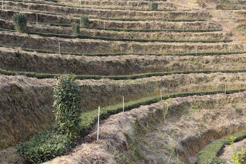 Terrazzi della piantagione di tè fotografie stock