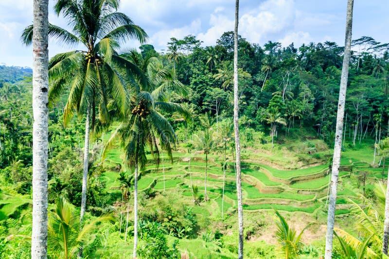Terrazzi di Tegalalang immagine stock libera da diritti