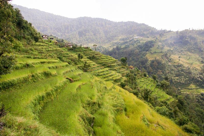 Terrazzi himalayani del riso immagini stock libere da diritti