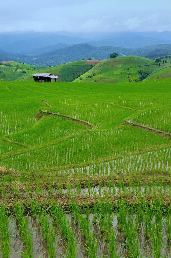 Terrazzi verdi del riso fotografia stock