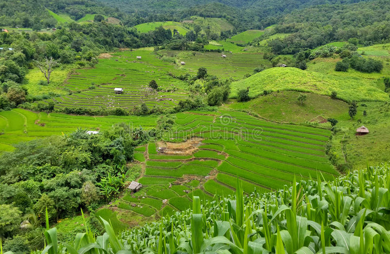 Terrazzi verdi del riso immagini stock