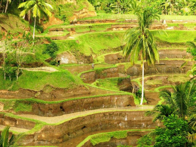 Terrazzo del riso in Bali immagine stock