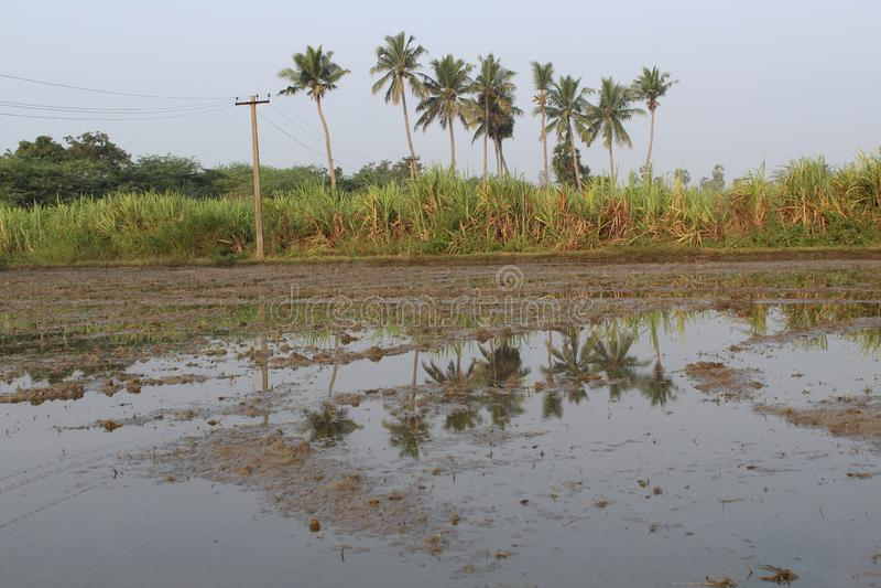 Terre d'agriculteur de village avec l'arbre de canne à sucre et de noix de coco images stock