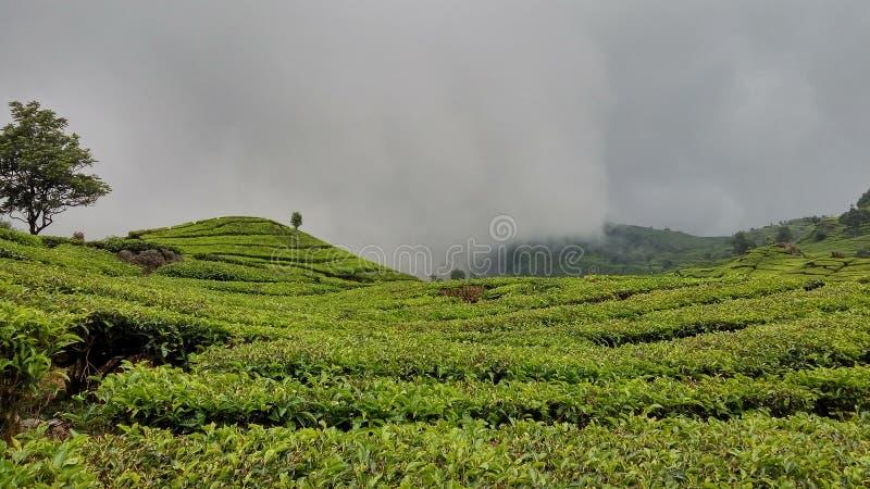Terre de thé chez Java occidental photographie stock