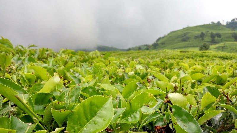 Terre de thé dans Java occidental photo stock