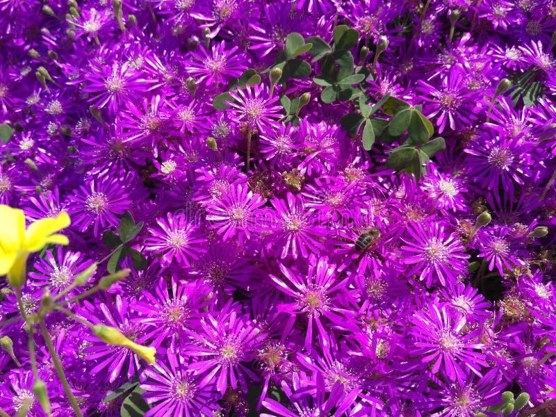 Terre des violettes photos stock