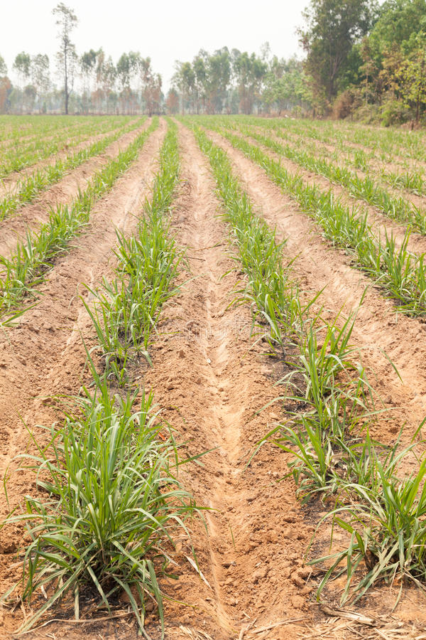Terreni agricoli per coltivazione della canna da zucchero fotografie stock libere da diritti