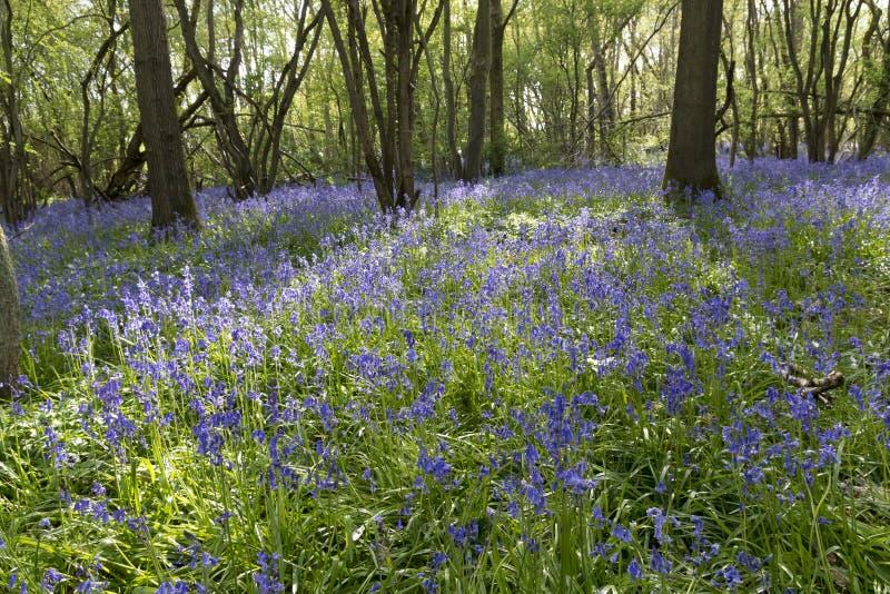 Terreni boscosi di Bluebell fotografia stock libera da diritti