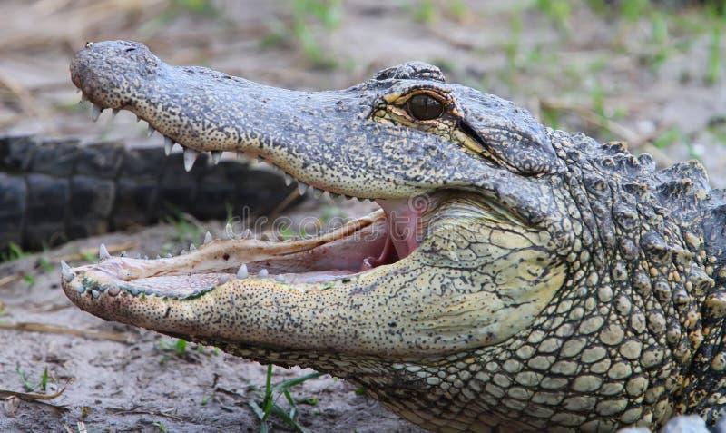 Terreni paludosi dei coccodrilli della Florida Aligators immagini stock libere da diritti