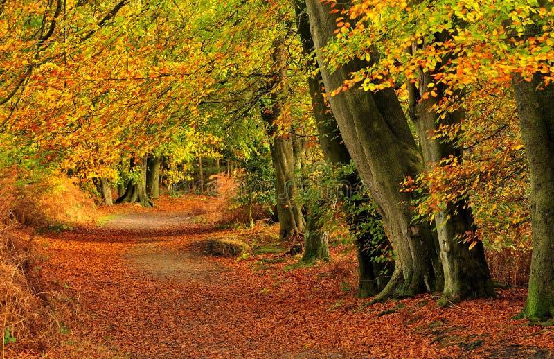 Terreno boscoso d'autunno del faggio (sylvatica del Fagus) immagini stock libere da diritti