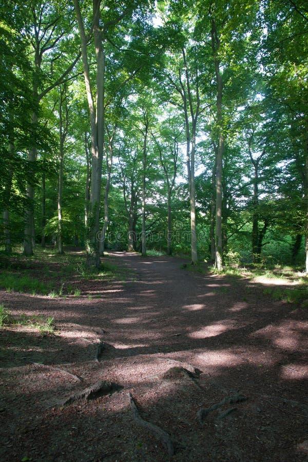 Terreno boscoso del faggio fotografia stock