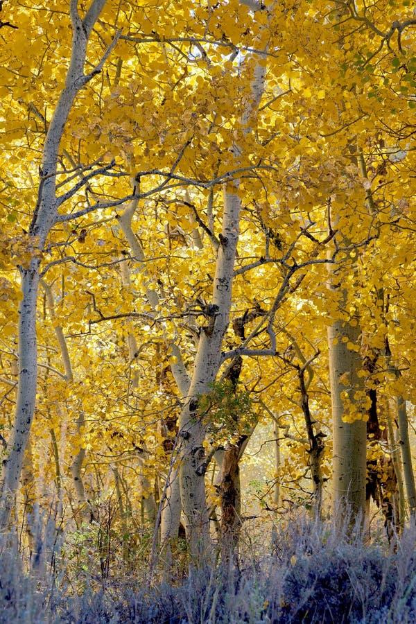 Terreno boscoso dell'Aspen fotografia stock