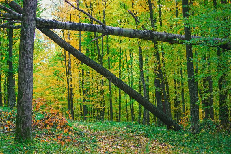 terreno boscoso denso con il vecchio portone caduto muscoso degli alberi immagini stock