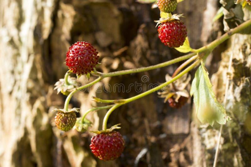 Terreno boscoso Straberry fotografie stock