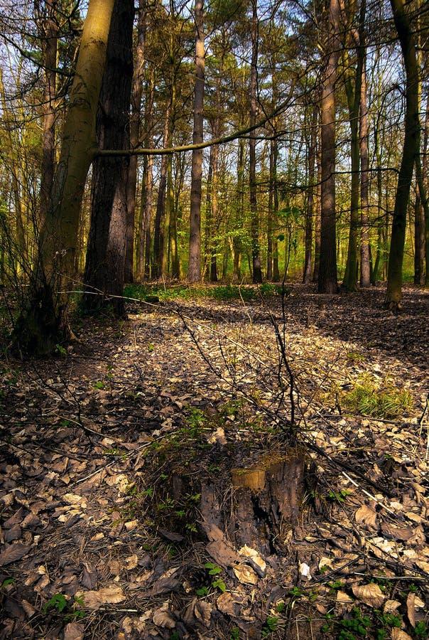 Terreno boscoso Thetford della Norfolk immagini stock
