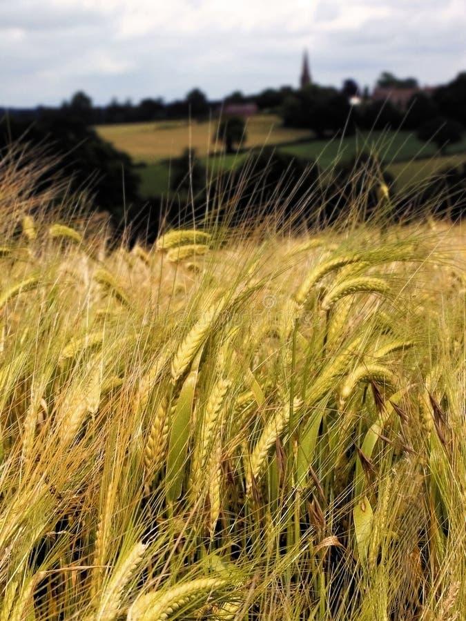 Terreno coltivabile con i raccolti del cereale fotografia stock