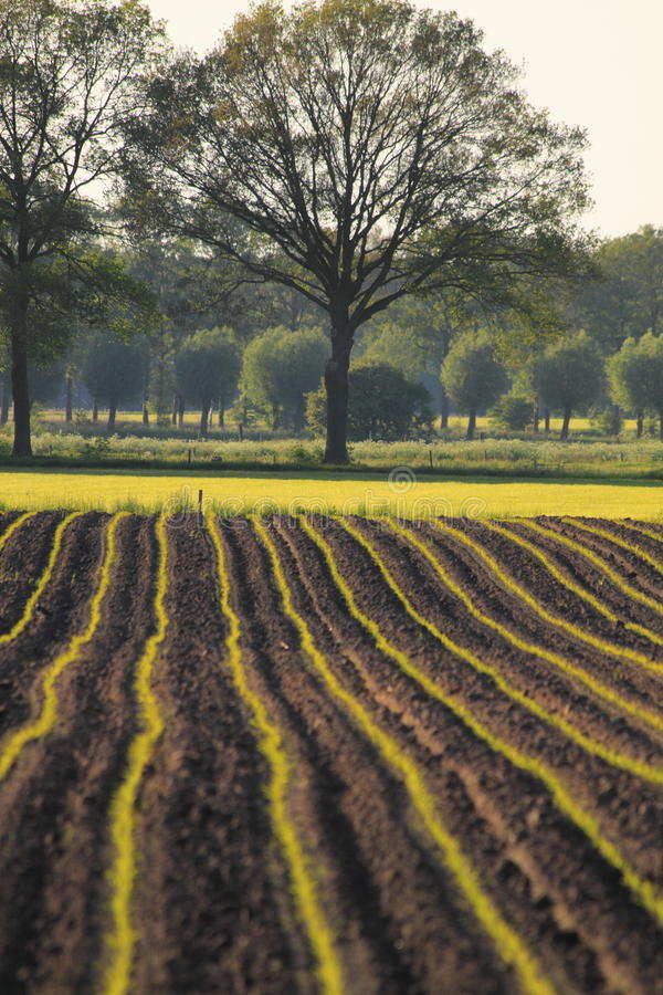 Terreno coltivabile con le giovani piante di cereale fotografie stock